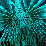 Lionfish ... the spines are very poisonous