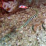 A pair of banded pipefish