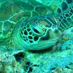 There are lots of green turtles at Sipadan, sometimes resting ...